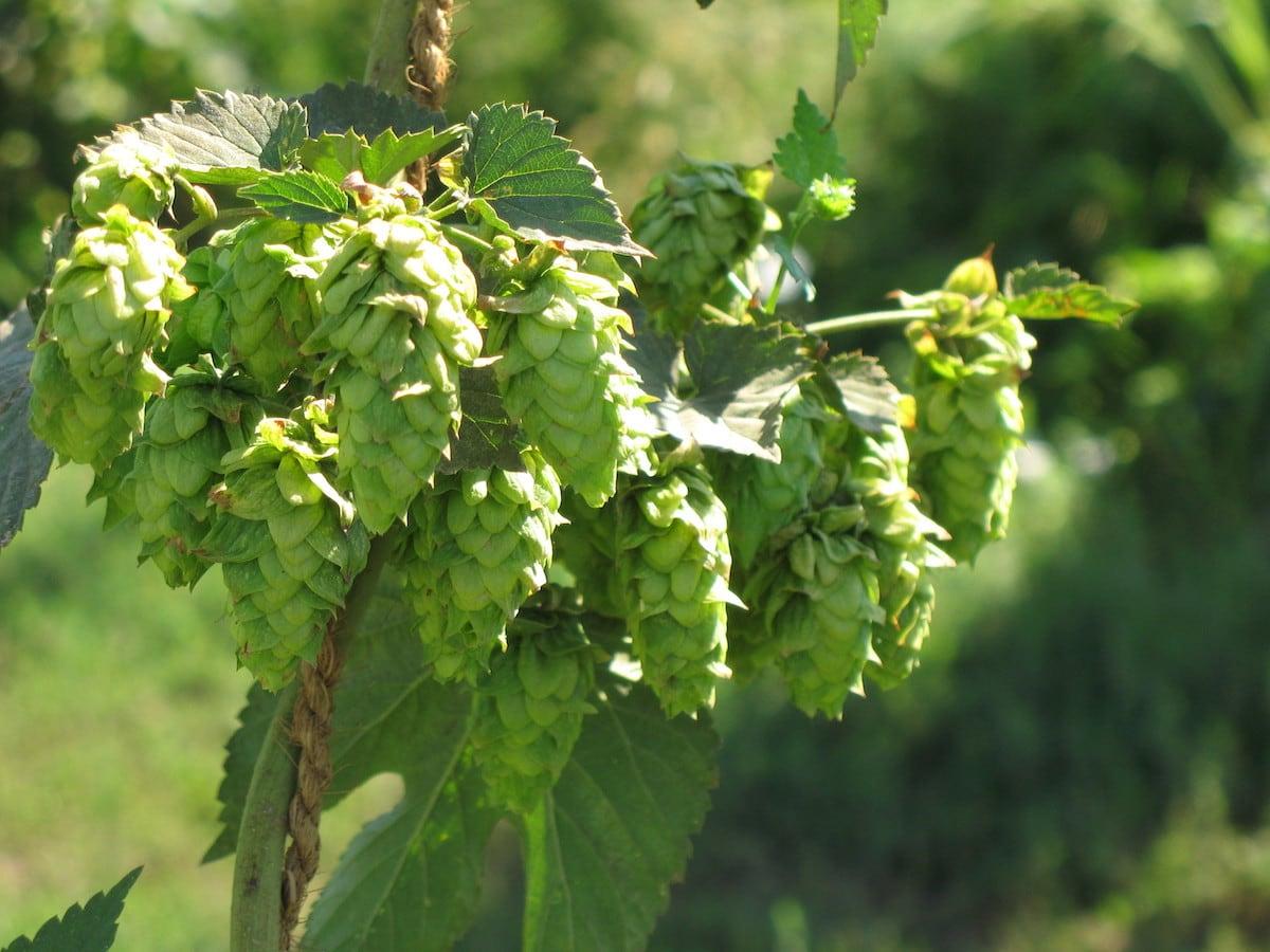 bia thủ công như ale, pale ale và India Pale Ale (IPA)