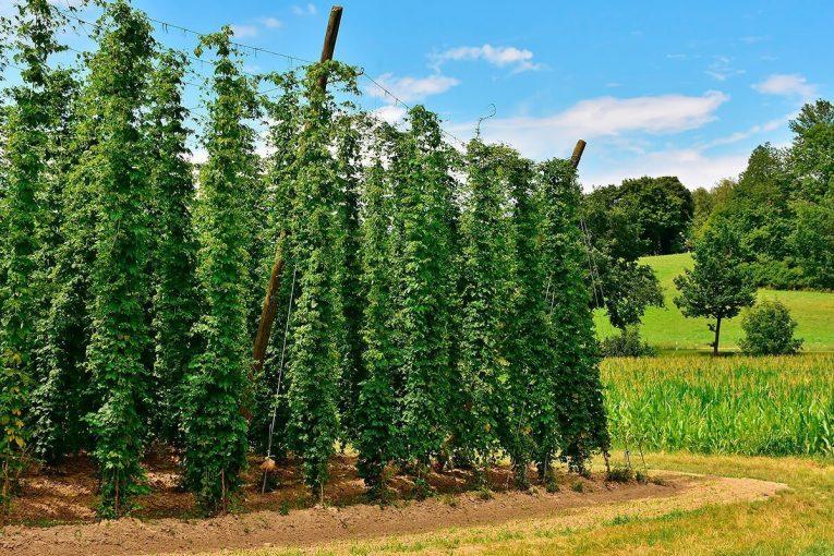 Câu chuyện đằng sau những nông trại trồng hoa bia tại Đức