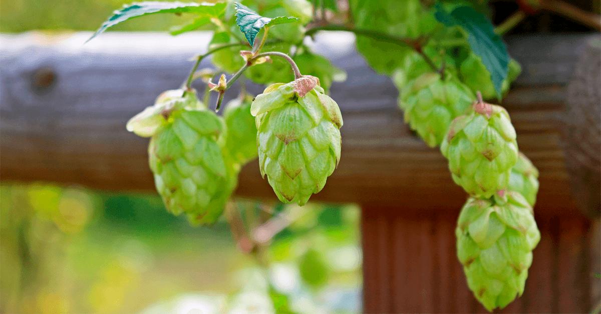 Hoa bia được sản xuất như thế nào